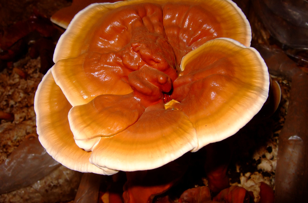 Reishi / Ling Zhi – The Mushroom of Immortality