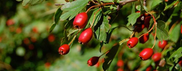 Hawthorn – Lower Blood Pressure & Cholesterol